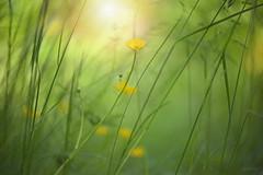 Buttercup Meadow... (KissThePixel) Tags: wildflower wildflowers meadow buttercup buttercupmeadow longacremanor light sunlight beautiful springmeadow summermeadow grass longgrass bokeh bokehlicious yellow gold yellowflower nikon macro makro nature nikond750 d750 50mm nikkor nikkor12 12 f12