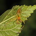 Magnolia Green Jumper - Lyssomanes viridis, Chincoteague National Wildlife Refuge, Chincoteague, Virginia