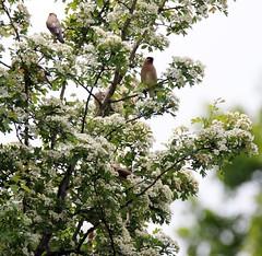 Cedar Waxwings. (Gillian Floyd Photography) Tags: cedar waxwings birds