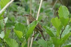 Sedge Warbler with lunch (hedgehoggarden1) Tags: sedgewarbler bird wildlife rspb nature creature sonycybershot animal framptonmarsh uk sony birds