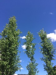 Happy Tree-Mendous Tuesday Folks (Mr. Happy Face - Peace :)) Tags: tree sky cloud nwn treemendous tuesday art2019 trio aspen spring canada sisters 5yrs gardening backyard growth nubes