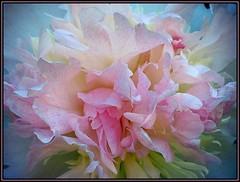 IMG_9426 Flower Power 6-8-19 (arkansas traveler) Tags: flowers peony pink flowerscolors bokeh bokehlicious zoom telephoto nature naturewatcher natureartphotography naturesfinest