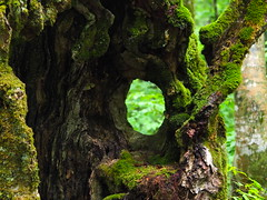 fresh green through the old tree (murozo) Tags: tender green tree hole trunk forest moss nikaho akita japan 新緑 葉 leaf 木 幹 ブナ 森 苔 にかほ 秋田 日本