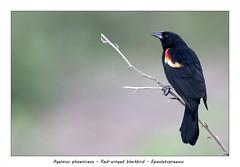 Red-winged blackbird (Jan H. Boer, Nature photographer) Tags: agelaiusphoeniceus redwingedblackbird epauletspreeuw birds blackbirds nature wildlife male portrait costarica loschiles nikon d500 afsnikkor200500f56eedvr jan´sphotostream2019