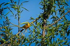 Yellow Warbler (jwfuqua-photography) Tags: buckscounty jerrywfuqua pennsylvania peacevalleynaturecenter nature birds yellowwarbler warbler jwfuquaphotography buckscountyparks