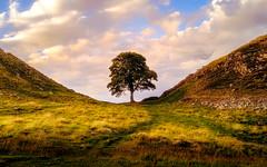 Sycamore Gap (Joe Rey Photography) Tags: sycamore gap northumberland landscape tree trees