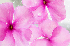 """DSC_4002-1  ~  """"#MACRO MONDAYS"""" ~ and """"#CURVES"""" ~ """"6/17/19"""" ~ (Travlin/Cindy1) Tags: curves pink flowers 61719 impatients pinkflowers pinkimpatients waterdrops white 3impatients macromondays macro mondays water drops"""
