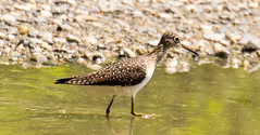 7K8A8491 (rpealit) Tags: scenery wildlife nature silver lake hamburg mountain management area solitary sandpiper bird