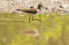 7K8A8488 (rpealit) Tags: scenery wildlife nature silver lake hamburg mountain management area solitary sandpiper bird