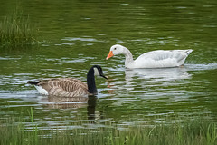 Snow Goose at Campbell River, British Columbia (Anne McKinnell) Tags: snowgoose canadageese campbellriver animal bird wildlife