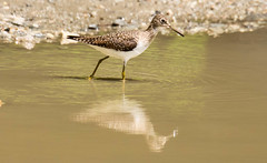 7K8A8485 (rpealit) Tags: scenery wildlife nature silver lake hamburg mountain management area solitary sandpiper bird