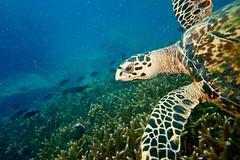 Hawksbill turtle in Praslin SEYCHELLES