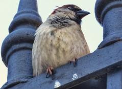 Pequeños mundos (carlos_ar2000) Tags: gorrion sparrow ave pajaro bird naturaleza nature animal reja fence montserrat buenosaires argentina