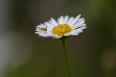 Leptophyes punctatissima (~ Jessy S ~) Tags: nikon nikkor d750 105mm macro 28 insectes bug bugs insects bokeh nature grasshopper sauterelle flower fleur