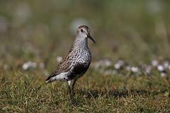 Dunlin - Calidris alpina (Chris B@rlow) Tags: calidrisalpina calidris bird wader dunlin sigma150600sport canon7dmarkii northuist balranald balranaldrspb rspb