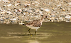 7K8A8482 (rpealit) Tags: scenery wildlife nature silver lake hamburg mountain management area solitary sandpiper bird