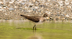 7K8A8475 (rpealit) Tags: scenery wildlife nature silver lake hamburg mountain management area solitary sandpiper bird