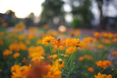 Flower patch (hasham2) Tags: flowers bokelicious wideangle colors goldenhour canon 5dmk2 sigma 28mm