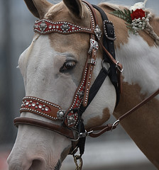 Horsing Around (Scott 97006) Tags: animal horse bridal head eye cute parade