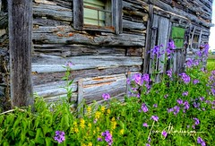 Weathered Old Log Barn (Tom Mortenson) Tags: wisconsin deerbrookwisconsin langladecounty usa america northamerica old logbarn wildphlox colorful canon canon6d 1740l canoneos flowersofsummer flowers wildflowers barn weatheredwood digital rural rustic oldbuilding fineart country farmcountry geotagged