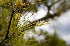 Pinus Brutia (Alexander Jones - Documentary Photography) Tags: documentary macro photography flower flora park botanical garden gardens south east england flowers bokeh nikon d5200 sir harold hillier romsey hampshire arboretum