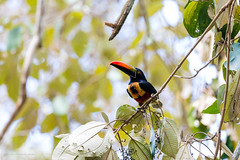 Fiery-billed Aracari Costa-Rica (By Corsu) Tags: canon eos 5d mk4 100400 l ii by corsu flickr voyage trip costarica animaux animals nature foret forest sauvage wild wildlife animalier amateur randonnée hiking fierybilledaracari