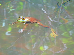 Floating Bullfrog   MG_3823 (PRS North Star) Tags: frogs bullfrogs amphibians ponds pondlife scotiabarrens