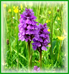 Orchids For Nora (ERIK THE CAT Struggling to keep up) Tags: orchis wildflowers staffordshire derrington ngc