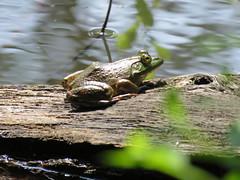 Bullfrog  IMG__3816 (PRS North Star) Tags: frogs bullfrogs amphibians ponds pondlife scotiabarrens