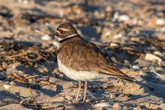 IMG_7430.jpg (Pete Andrusyszyn) Tags: capecod plover 2019 westyarmouth ©peteraandrusyszyn