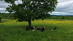 cows (PhotonPirate) Tags: cows field tree meadow cloudy homer ny upstate