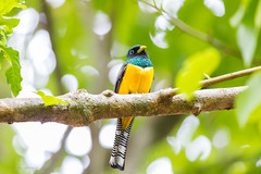 Black-throated Trogon Costa-Rica (By Corsu) Tags: canon eos 5d mk4 100400 l ii by corsu flickr voyage trip costarica animaux animals nature foret forest sauvage wild wildlife animalier amateur randonnée hiking blackthroatedtrogon oiseaux bird