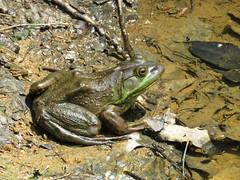 Bullfrog  IMG_3820 (PRS North Star) Tags: frogs bullfrogs amphibians ponds pondlife scotiabarrens