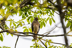 Roadside Hawk Costa-Rica (By Corsu) Tags: canon eos 5d mk4 100400 l ii by corsu flickr voyage trip costarica animaux animals nature foret forest sauvage wild wildlife animalier amateur randonnée hiking roadsidehawk