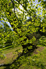 MRP_1881 (preedyphotos) Tags: westonbirt arboretum trees flowers blooming branches bark shapes outside woodland view blossom old oldarboretum martinpreedy canon eos1dx june 2019 june2019