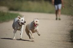 Juppiiiii my friend arrived... (Nora077) Tags: dogs hapiness labrador perrodelagua noratoth