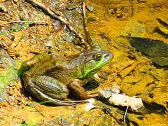 Bullfrog  IMG_3822 (PRS North Star) Tags: frogs bullfrogs amphibians ponds pondlife scotiabarrens