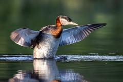 Morning stretch (spwasilla) Tags: bird grebe lake water redneckedgrebe diving reflection morning
