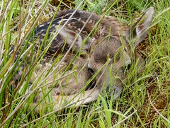 Hiding in Plain Sight (CJT29(No longer Pro)) Tags: fallowdeer fawn hampshire newforest baby hiding cjt29 animal mammal damadama wild wildlife