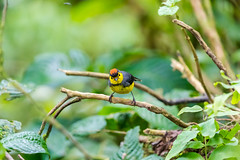 Collared Redstart Costa-Rica (By Corsu) Tags: canon eos 5d mk4 100400 l ii by corsu flickr voyage trip costarica animaux animals nature foret forest sauvage wild wildlife animalier amateur randonnée hiking collaredredstart