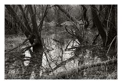 Tangle (Robert Drozda) Tags: vancouverlake washington woods water swamp tree grass monochrome marsh winter wetland nature drozda