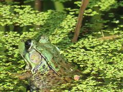 Camo Frog  IMG_3853 (PRS North Star) Tags: frogs amphibians ponds pondlife shaverscreekenvironmentalcenter