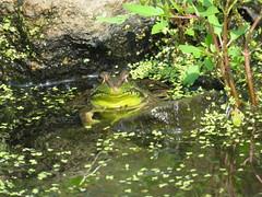 Resting Frog   IMG_3850 (PRS North Star) Tags: frogs amphibians ponds pondlife shaverscreekenvironmentalcenter