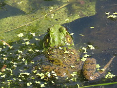 Stand-offish Frog  IMG_3834 (PRS North Star) Tags: frogs amphibians ponds pondlife shaverscreekenvironmentalcenter