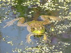 Chillin' Frog   IMG_3849 (PRS North Star) Tags: frogs amphibians ponds pondlife shaverscreekenvironmentalcenter