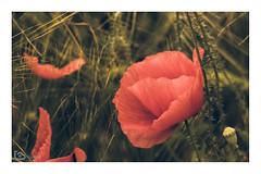 poppy (alamond) Tags: poppy wheat flower plant red canon 7d markii mkii llens ef 70300 f456 l is usm alamond brane zalar