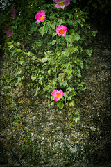 Wild roses on the wall (judy dean) Tags: judydean 2019 kelmscott village wall roses pink wild briar
