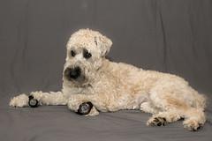 Watchdog (Eric.Ray) Tags: dog nikon dslr wah watch wheaton terrier