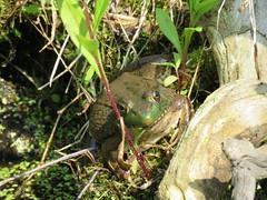 Hiding Frog  IMG_3876 (PRS North Star) Tags: frogs amphibians ponds pondlife shaverscreekenvironmentalcenter