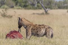 Survival of the fittest. Okavango Delta Botswana (Rocacidi) Tags: okavangodelta botswana hyena predator africa bush safari plains grassland nikon d500 beverlydakin scavenger scavenging prey